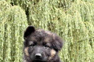 German Shepherd Online Listings