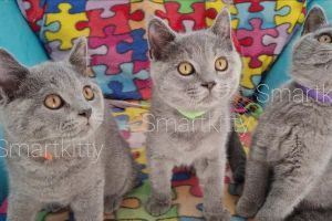 British Shorthair For Sale in the UK