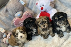Havanese For Sale in Great Britain