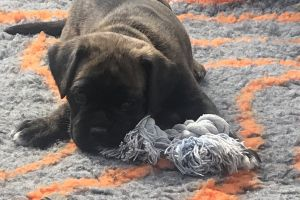 Boxers for Rehoming
