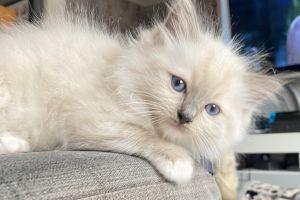 Cute Ragdoll For Sale