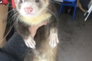 Ferret For Sale in Great Britain