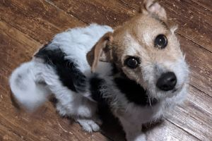 Jack Russell For Stud in Lodon