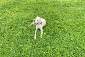 Whippet Dogs Breed
