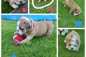 English Bulldog For Sale in the UK