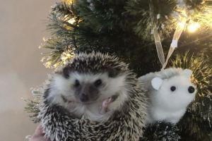 Pygmy Hedgehog For Sale