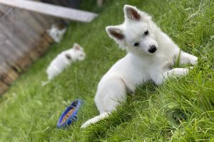 Japanese Spitzes for Rehoming