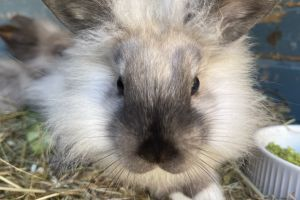 Lionhead For Sale in the UK
