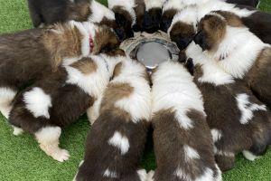 Saint Bernard Dogs Breed
