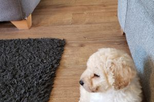 Miniature Poodle Dogs Breed