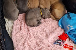 Cane Corso For Sale in the UK