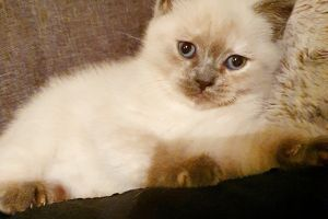 Scottish Fold For Sale in the UK