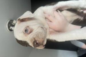Cute Alapaha Blue Blood Bulldog For Sale