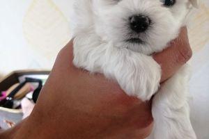 Cute Maltese For Sale