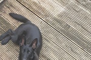 Belgian Shepherd Dog For Sale in Lodon