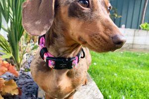 Miniature Dachshund Advertisement UK Pets