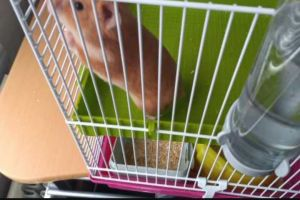Hamster Rodents Breed