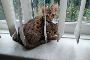 Bengal For Sale in Great Britain