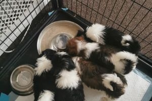 Lhasa Apsos for Rehoming