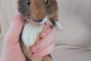 Guinea Pig Rodents Breed