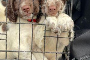 English Springer Spaniel Dogs Breed