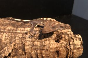 Gecko Reptiles and Amphibians Breed