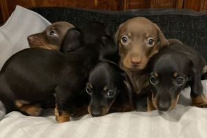 Miniature Dachshund For Sale in the UK