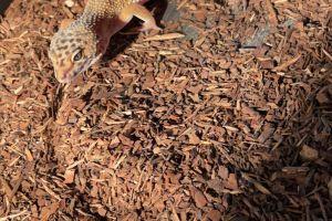 Available Leopard Geckos