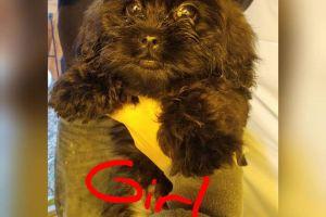 Shih-poo For Sale in Lodon