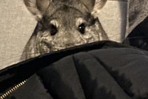 Chinchilla Rodents Breed