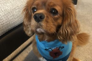 Available Cavalier King Charles Spaniels