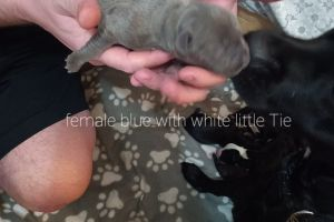Cute Staffordshire Bull Terrier For Sale