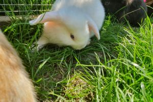 Available English Lops