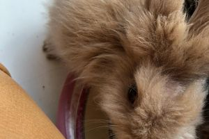 Lionheads for Rehoming