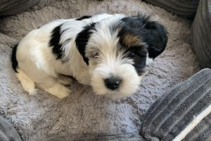 Yorkie poo For Sale in the UK
