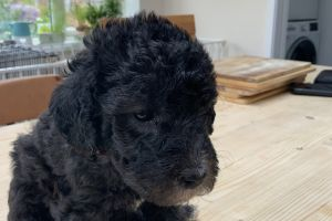 Bedlington Terrier Advertisement UK Pets