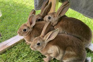 Rex Rabbits Breed