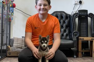 Pomsky For Sale in Great Britain