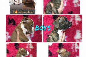 Cute American Bulldog For Sale