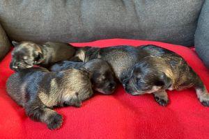 Miniature Schnauzer Dogs Breed