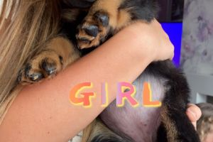 Rottweiler for Rehoming