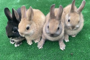 Netherland Dwarf For Sale in Great Britain