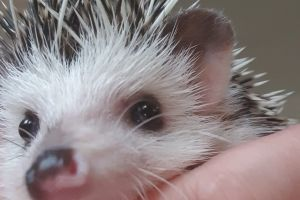 Pygmy Hedgehogs for Rehoming