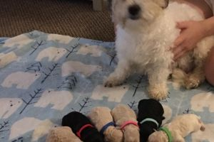 Cavapoo For Sale in the UK