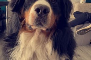 Bernese Mountain Dog For Stud in the UK