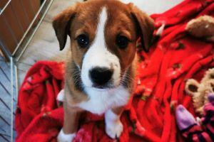 Welsh Collie Advertisement UK Pets