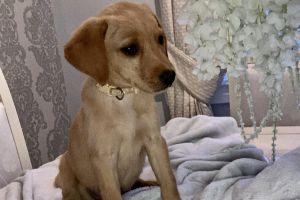 Cute Labrador Retriever For Sale