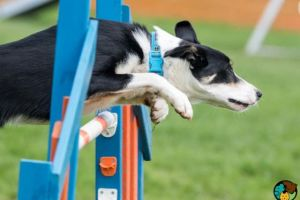 Border Collie For Stud in Lodon