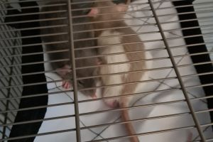 Rats For Sale