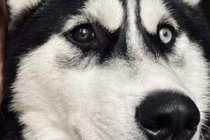 Siberian Husky For Sale in the UK